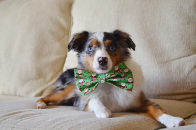 Porkchop in Santa Claus bow tie