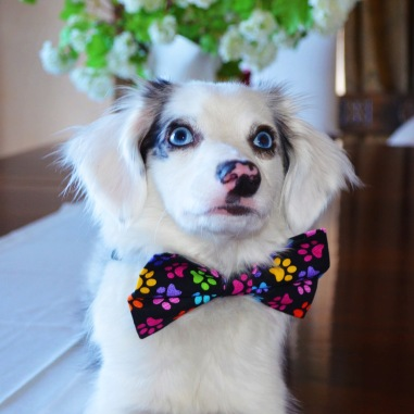 Casper in paw print bow tie